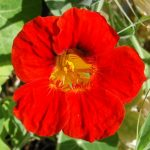 jardins-piniere-Fleurs-comestibles-Capucine