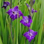jardins-piniere-Fleurs-comestibles-Gladiolus mauve