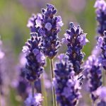 jardins-piniere-Fleurs-comestibles-Lavande