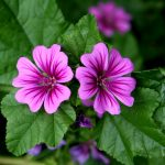 jardins-piniere-Fleurs-sucrees