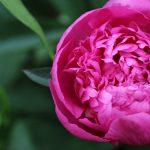 jardins-piniere-Fleurs-comestibles-Pivoine
