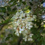 jardins-piniere-Fleurs-comestibles-Robinier faux-acacia