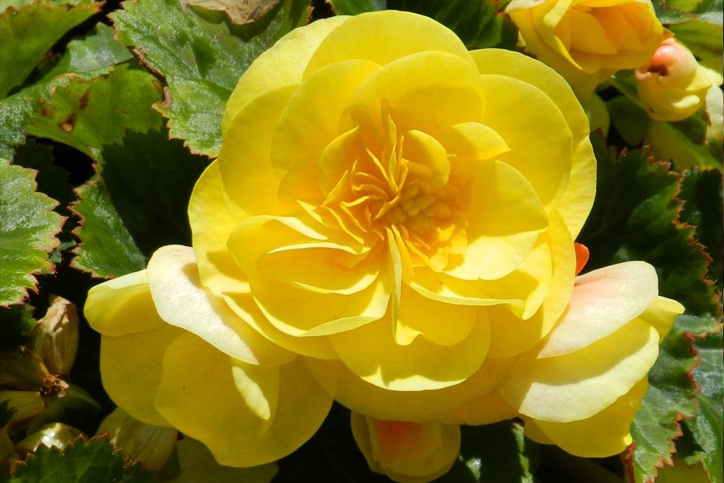 jardins-piniere-Fleurs comestibles
