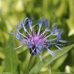 jardins-piniere-fleurs-comestibles-Centaure